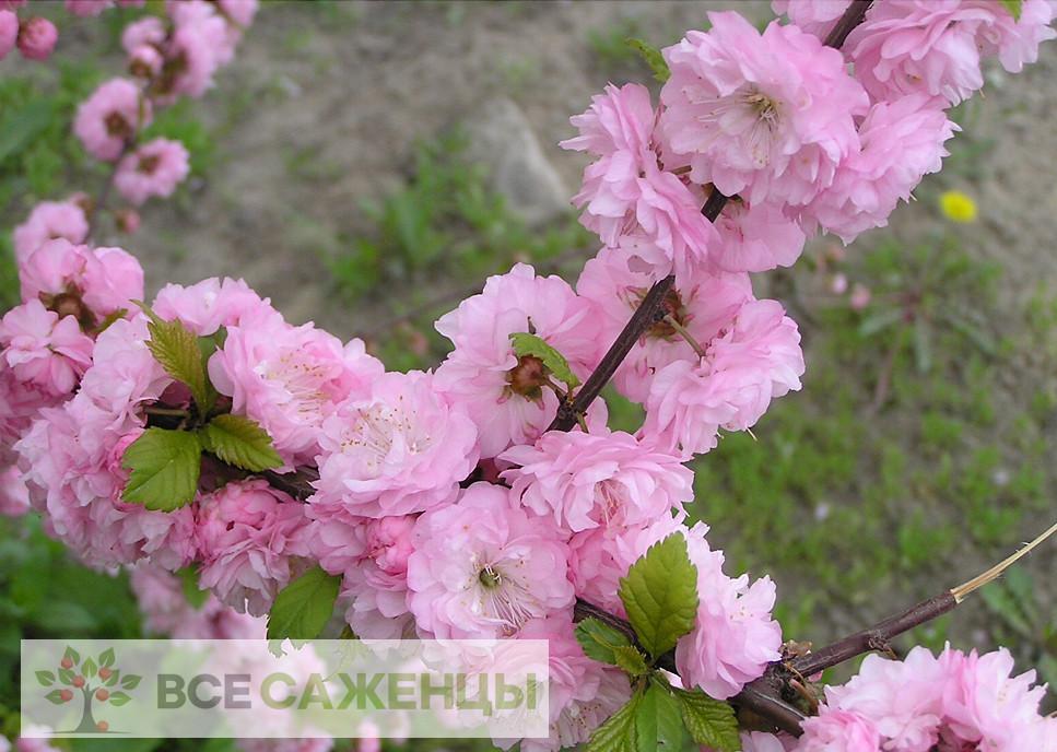 Фото Миндаль декоративный Розовый фламинго
