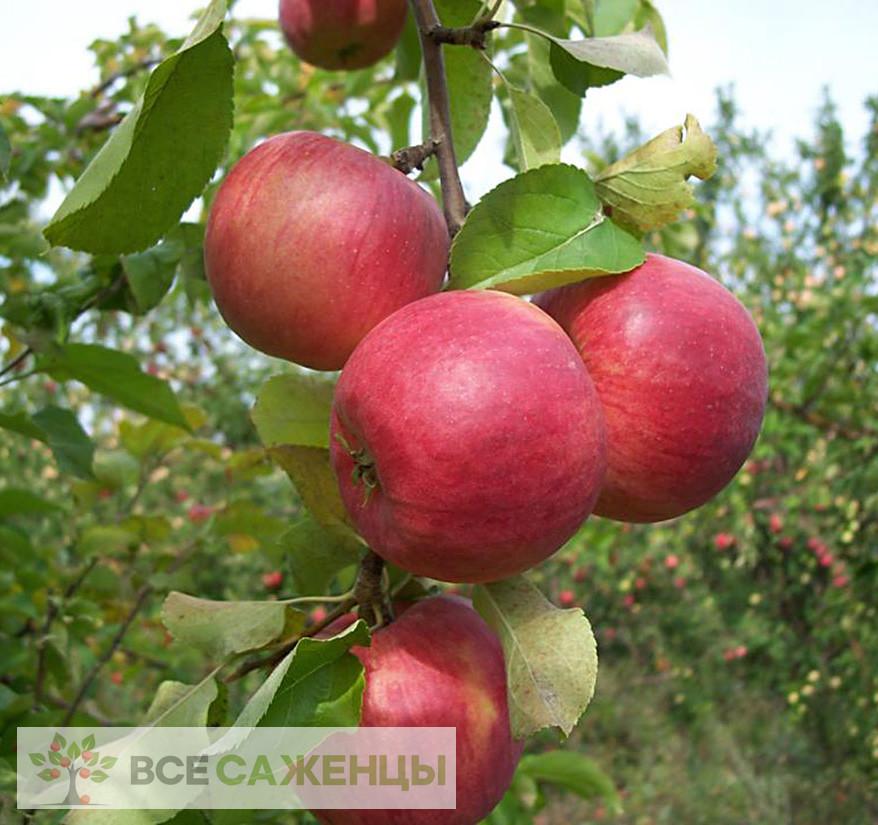 Фото Яблоня Жигулевское