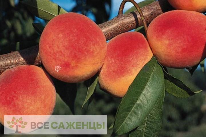 Купить Персик Инка (гибрид персика и сливы)