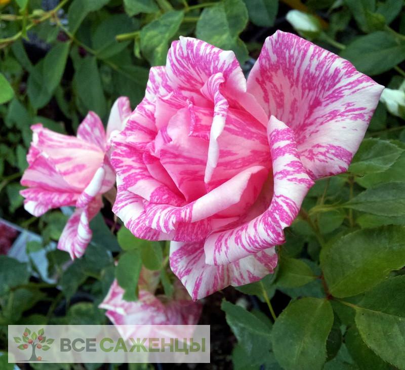 Купить Роза Пинк Интуишн (Pink Intuition)