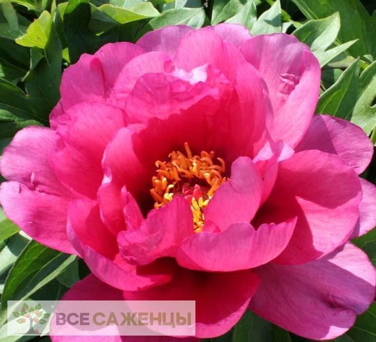 Купить Пион древовидный Пурпурная бабочка в золоте