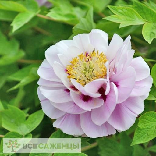 Фото Пион древовидный Розовая Пудра