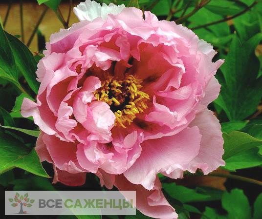 Фото Пион древовидный Розовый Лотос