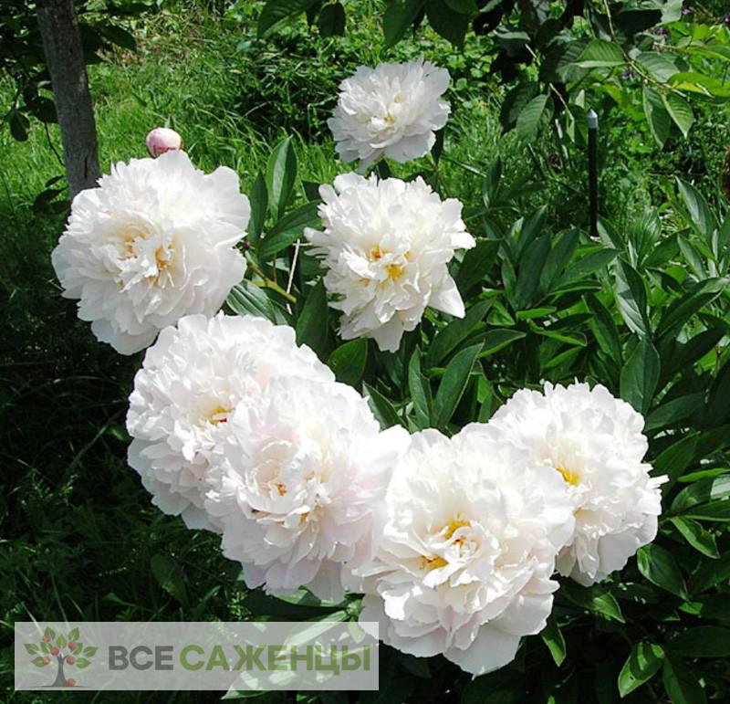 Пион Гардения (Gardenia) травянистый