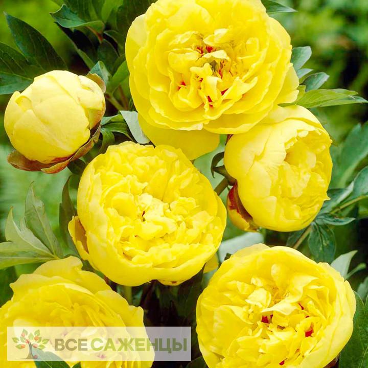 Фото саженцев Пион ИТО-гибрид Йеллоу Краун (Yellow Crown) травянистый