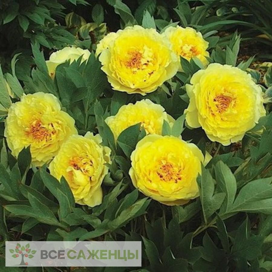 Пион ИТО-гибрид Йеллоу Краун (Yellow Crown) травянистый