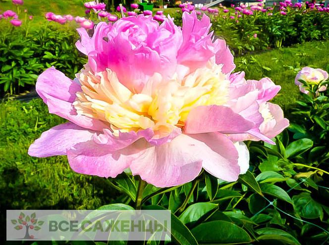 Фото саженцев Пион Расберри Санде (Raspberry Sundae) травянистый