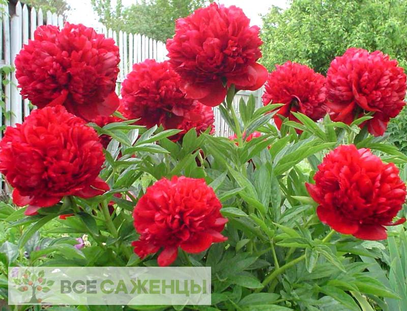 Фото саженцев Пион Ред Мэджик (Red Magic) травянистый