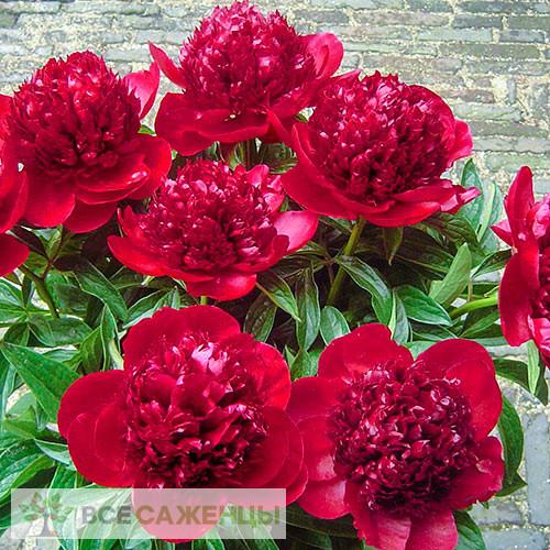 Пион Ред Шарм (Ред Чарм, Red Charm) травянистый