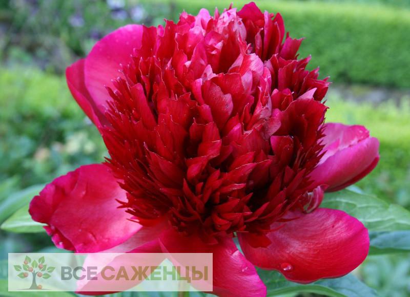 Фото Пион Ред Шарм (Ред Чарм, Red Charm) травянистый