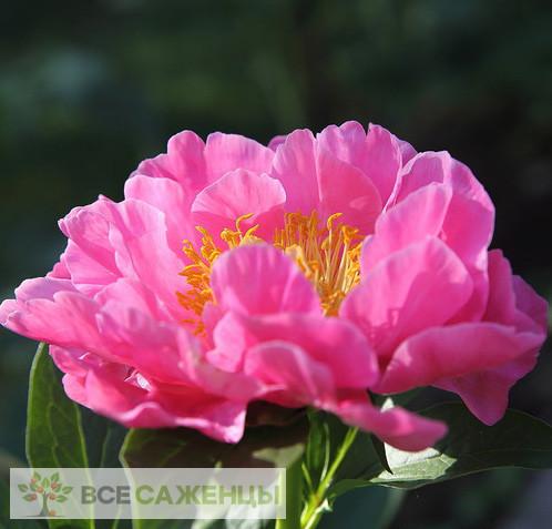 Пион Роял роуз травянистый