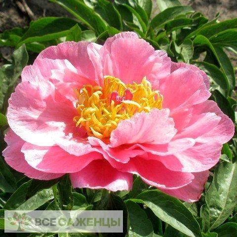 Фото Пион Роял роуз травянистый