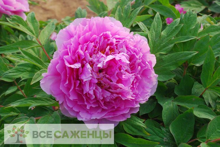 Фото Пион древовидный Цветочная роса
