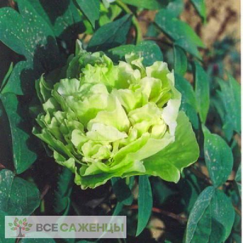 Фото Пион древовидный Зеленые Бобы