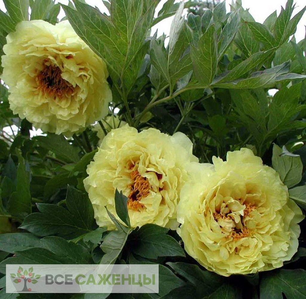 Купить Пион древовидный желтый Ай Ли Се (Ai Li Si)