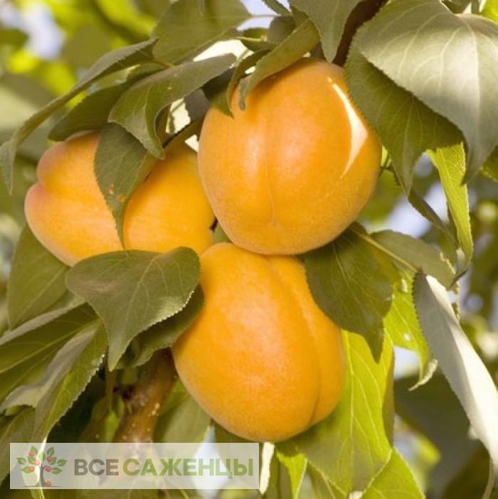 Купить Плуот Валентин (гибрид абрикосово сливовый)