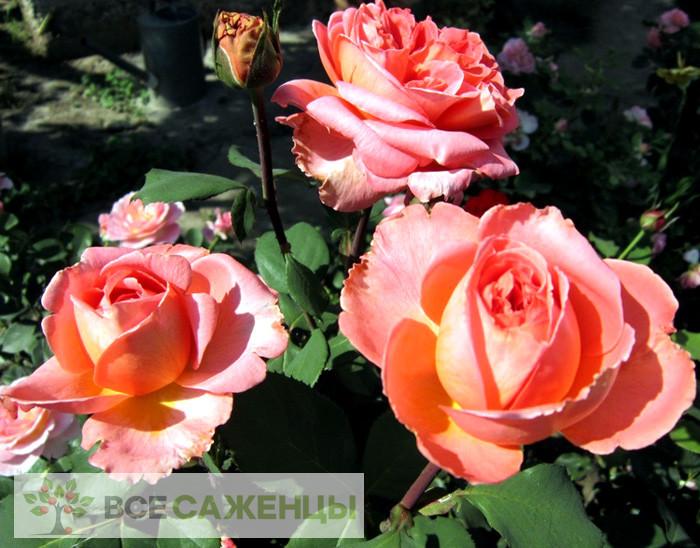Купить Роза Рене Госинни (Госсини, Rene Goscinny)
