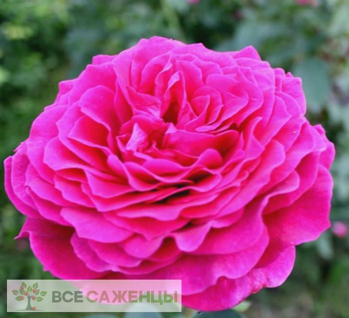 Купить Роза Биг перпл (Big purple)