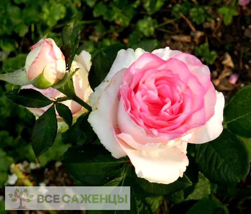 Фото Роза Дольче Вита (Dolce Vita)