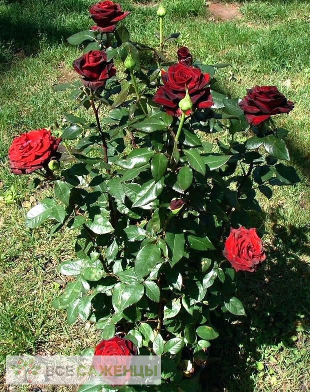 Роза Черная магия (Black magic)