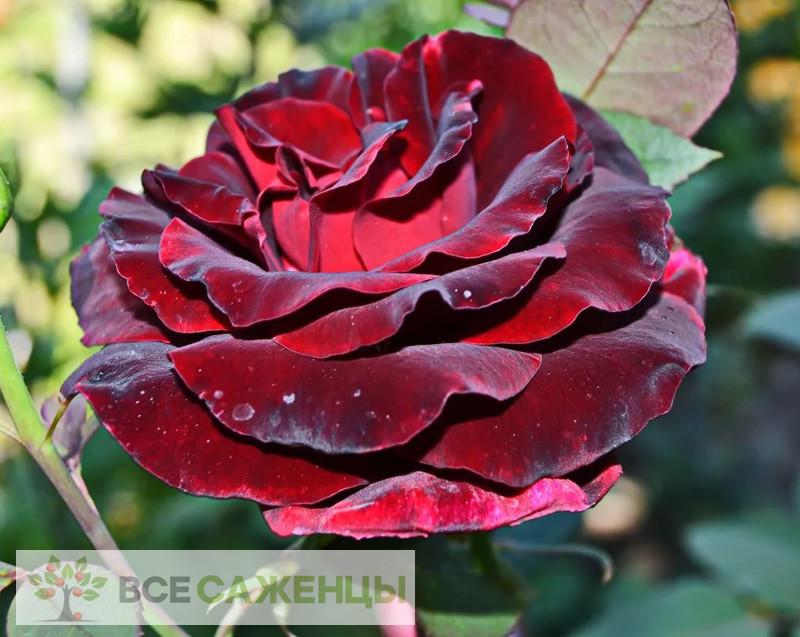 Купить Роза Черная магия (Black magic)