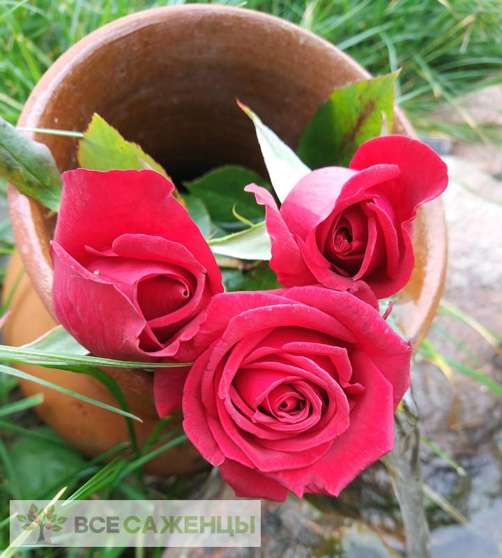Роза Черри Лав (Cherry Love)