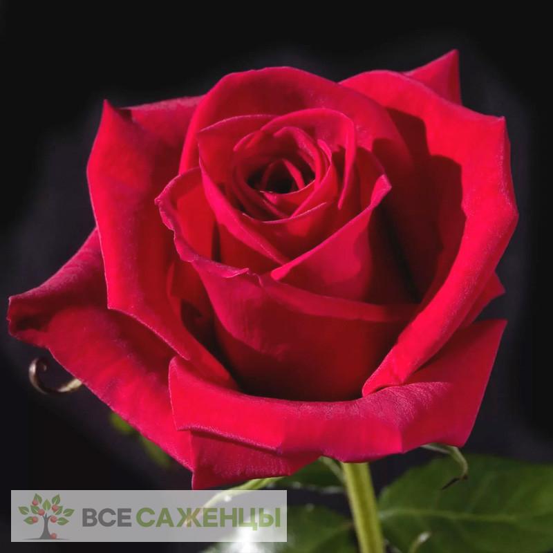 Купить Роза Черри Лав (Cherry Love)