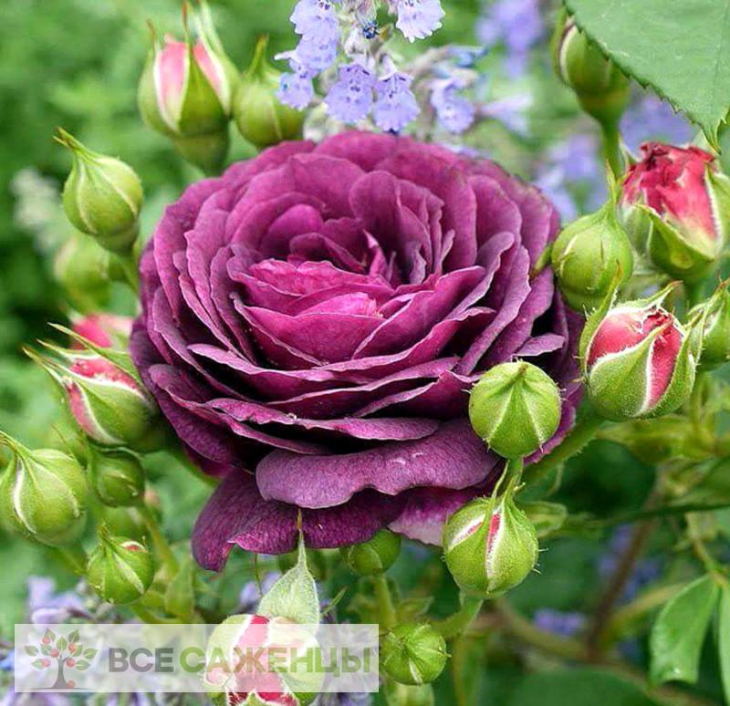 Фото Роза Эбб Тайд (Ebb Tide или Purple Eden)
