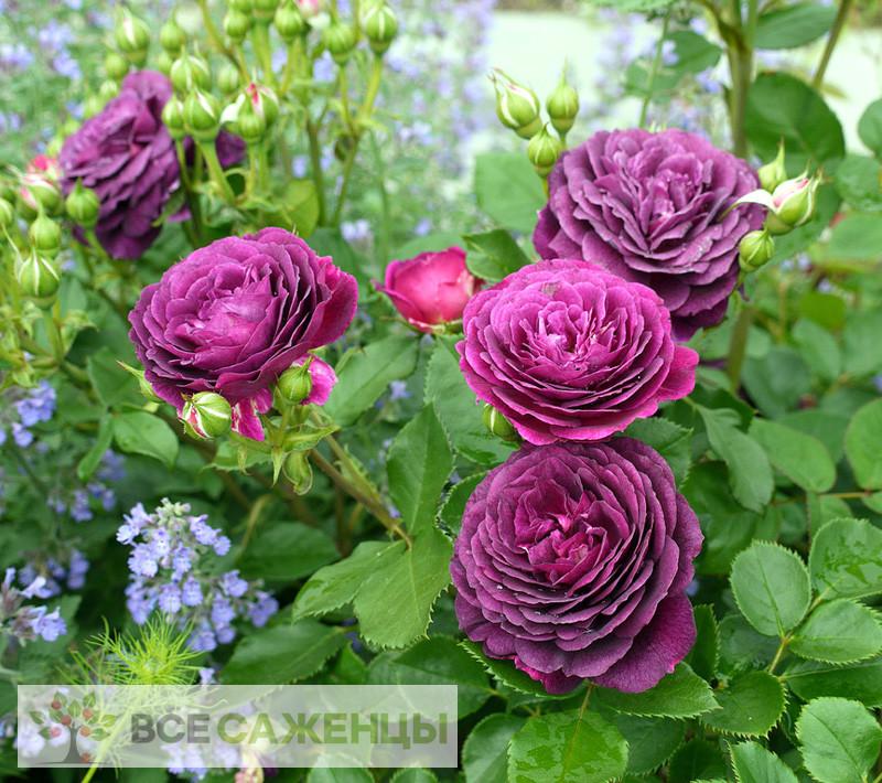 Роза Эбб Тайд (Ebb Tide или Purple Eden)