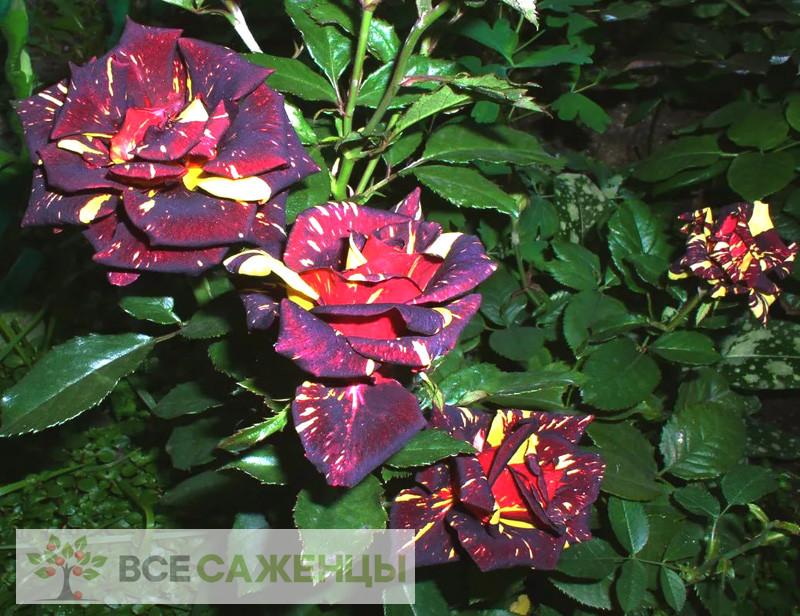 Роза Фокус покус (Hocus pocus)
