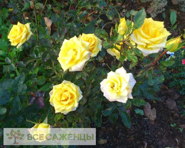 Роза Фриско (Frisco)