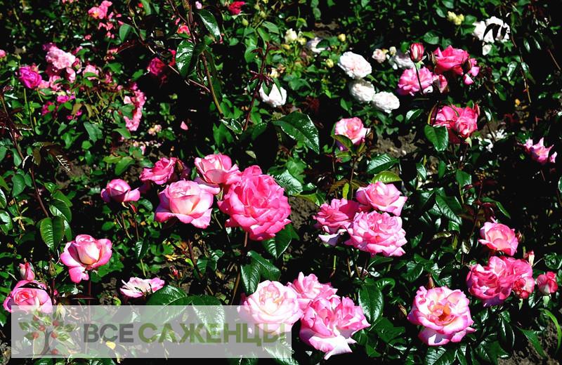 Роза Хендель (Handel)