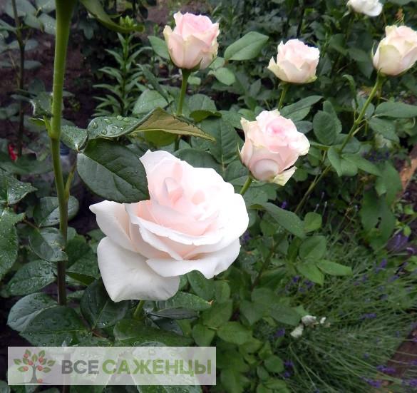 Роза Клер океан (Clear Ocean, Клер Оушен)