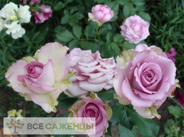 Роза Кул Ватер (или Уотер, Холодная вода, Cool water)