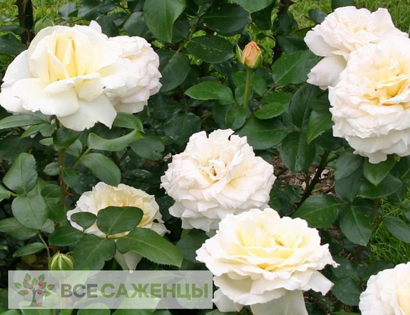 Роза Ла перла (La perla)