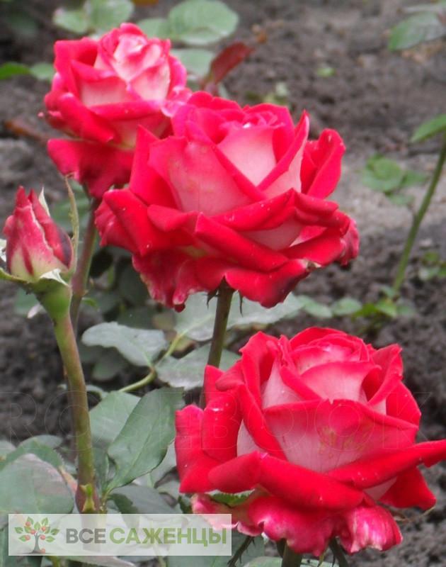 Роза Люксор (Luxor)