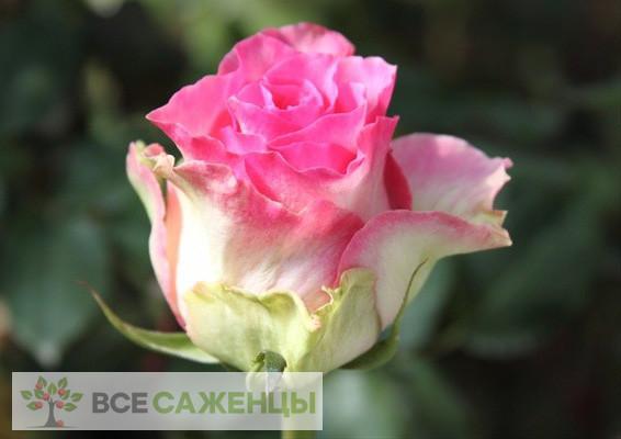 Купить Роза Малибу (Malibu)