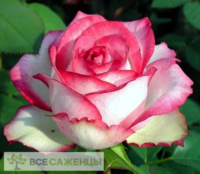 Купить Роза Н-Джой (N-Joy)
