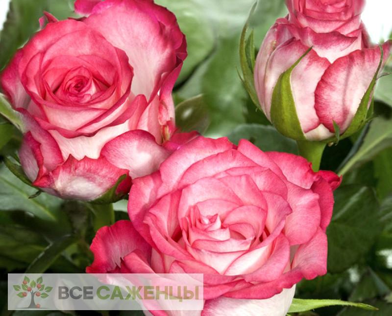 Роза Н-Джой (N-Joy)