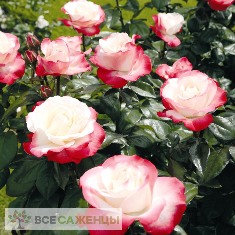 Роза Ностальжи (Ностальгия, Nostalgie)