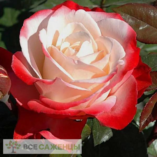 Купить Роза Ностальжи (Ностальгия, Nostalgie)