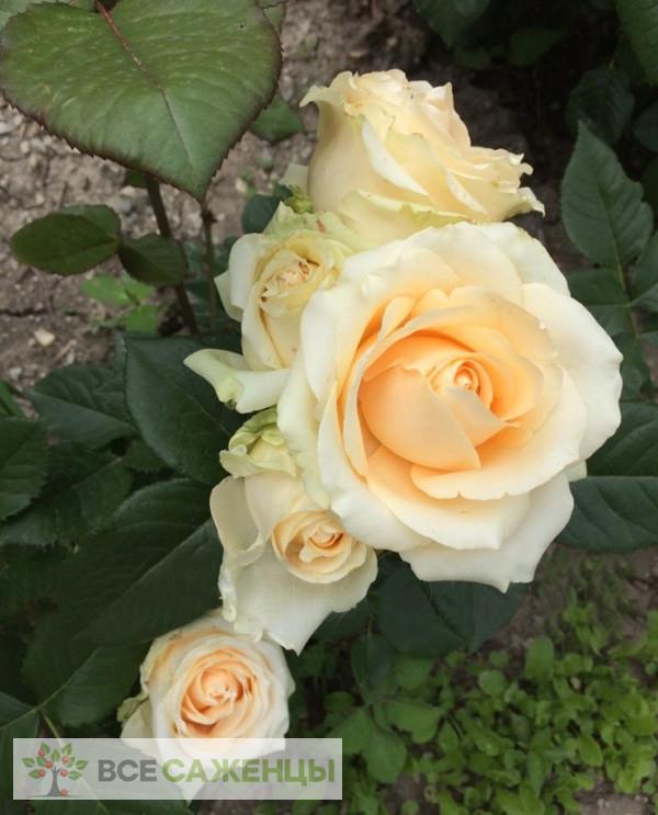 Роза Пич Аваланш (или Аваланж, Peach Avalanche)