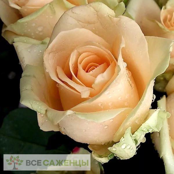 Купить Роза Пич Аваланш (или Аваланж, Peach Avalanche)