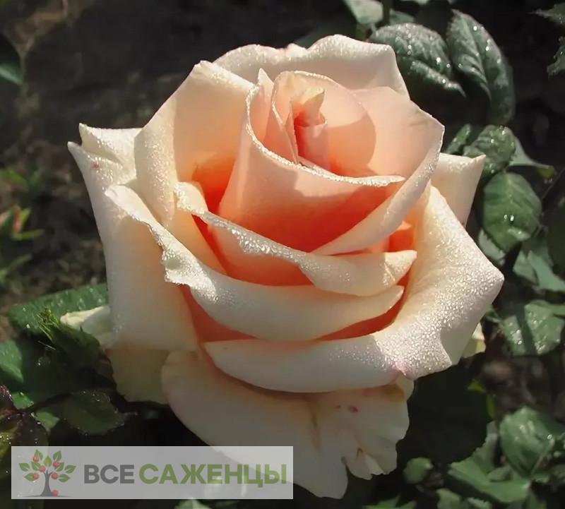 Купить Роза Примадонна (Primadonna)