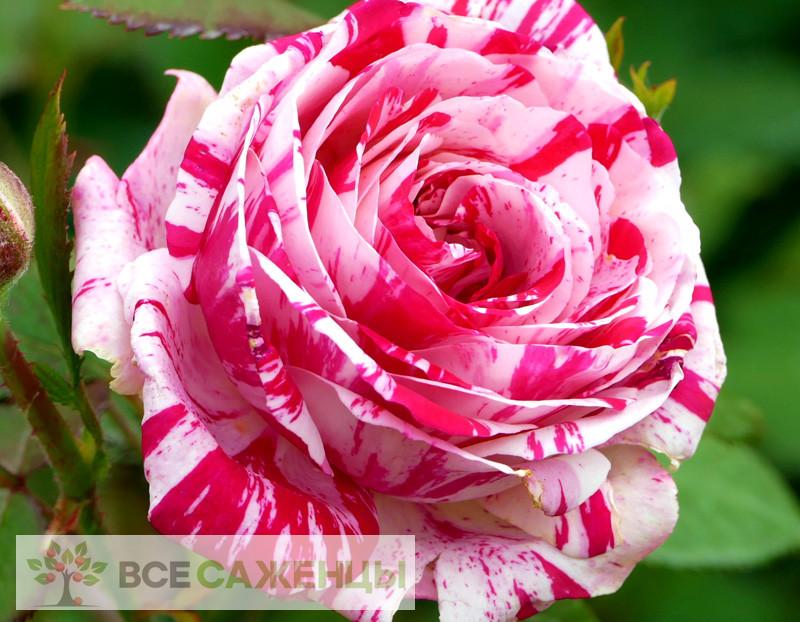 Купить Роза Сатин (Satin)