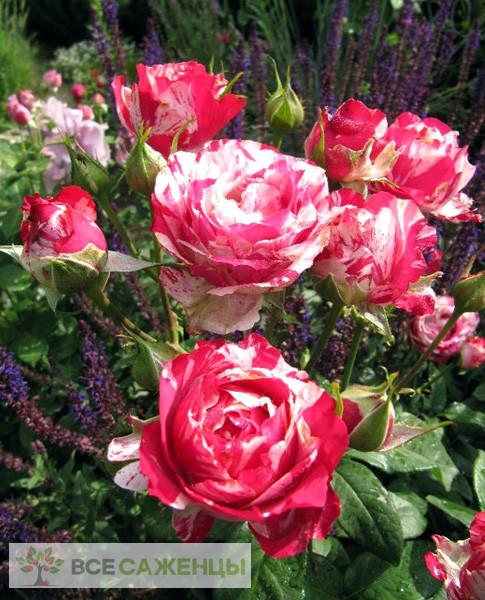 Роза Сатин (Satin)
