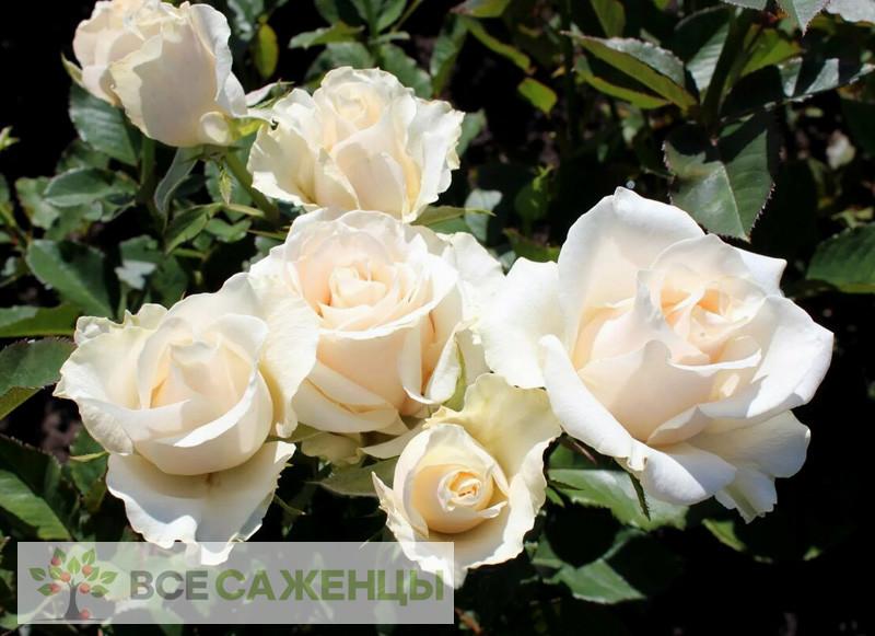 Роза Талея (Talea, Талеа)