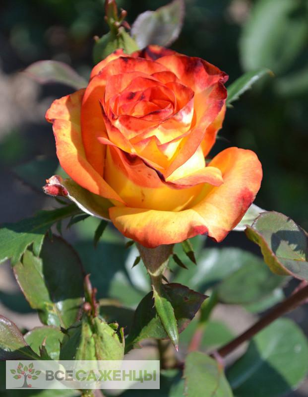 Роза Высший Свет (High Society, Высшее Общество)