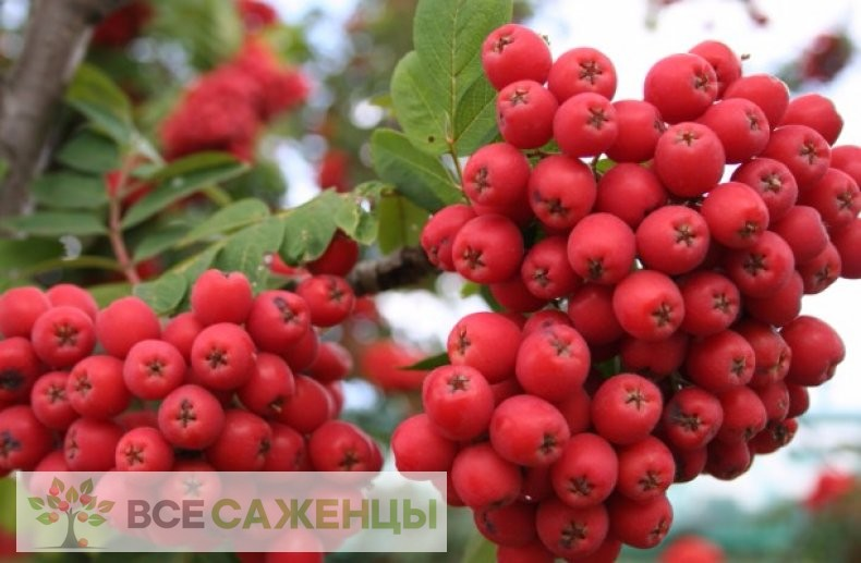 Фото саженцев Рябина Алая крупная