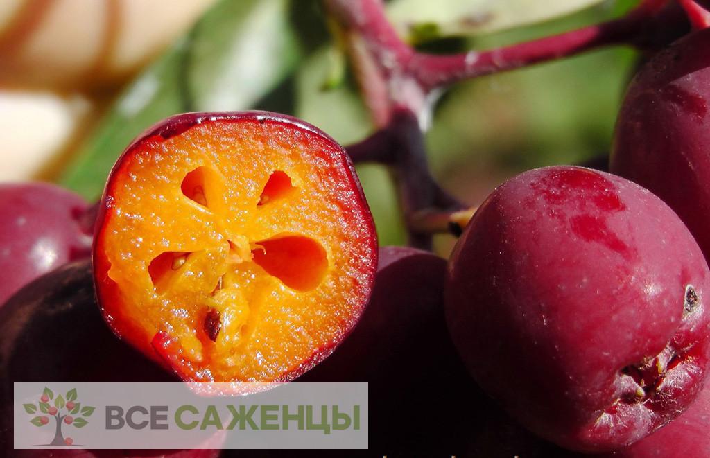 Фото саженцев Рябина Гранатная